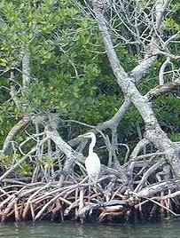 20080203_mangroves.jpg