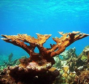 7901elkhorn-coral (300x281).jpg