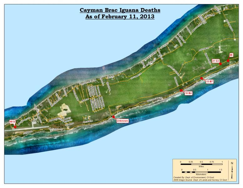 Cayman_Brac_Iguana_Deaths_Feb11_2013.jpg