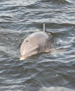 Dolphin_FulvioBonati (249x300).jpg