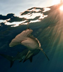 Photograph%20of%20a%20hammerhead%20shark (263x300).jpg