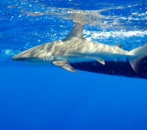 Shark in local waters (300x267).jpg