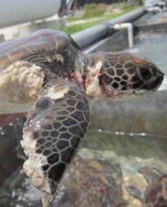 Turtle flipper (243x300).jpg