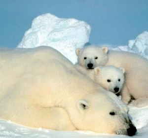 arctic-polar-bears-110225-02 (300x280).jpg