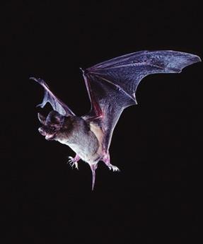bat450.jpg
