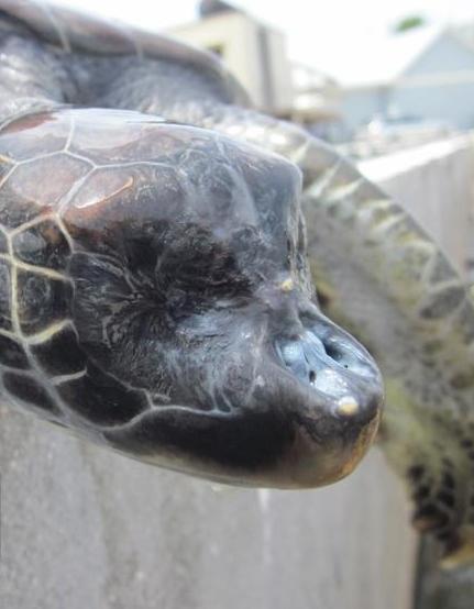 blind turtle.jpg