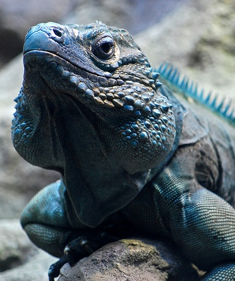 blue iguana_1.jpg