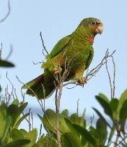 cayman-parrot.jpg