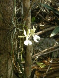 Cayman Islands news, Cayman Islands science & nature news, Queen Elizabeth Botanic Park, Orchids