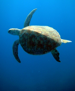 green-sea-turtle (247x300).jpg