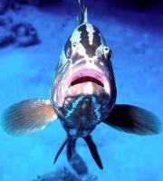 grouper face_0.jpg
