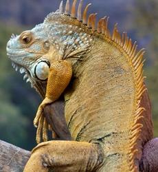 iguana (230x250).jpg
