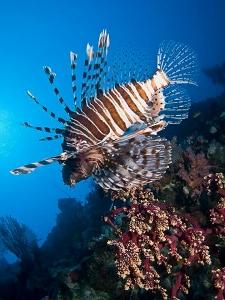 lionfish (225x300).jpg