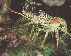 Cayman Islands News, Grand Cayman Science & Nature news, Cayman lobster