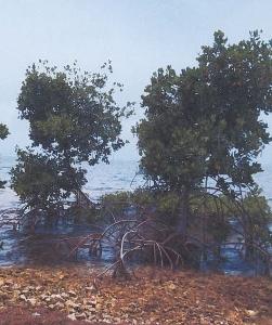 ss mangrove (251x300).jpg