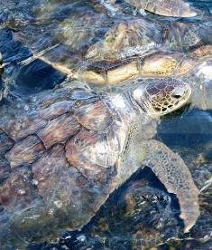 turtle-swimming-grand-cayman.jpg